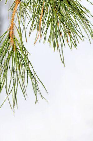 pine needles with snowflakes on white