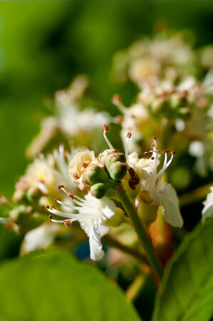 flower tree chestnut closeup photo