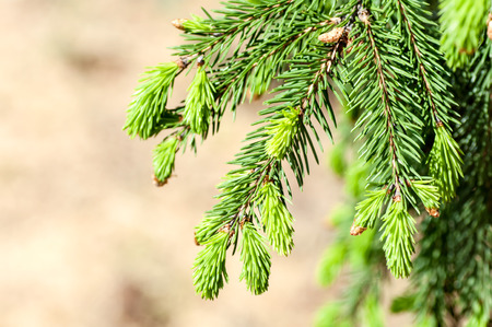 picea: young fir branch Stock Photo