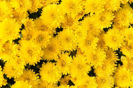 yellow: background of yellow flowers