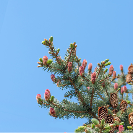 picea: young pink pine cone on a branch