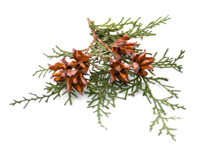 arborvitae: green arborvitae branch with open cones on a white background