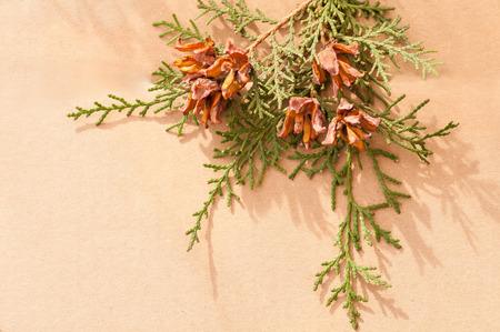 arborvitae: green arborvitae branch with open cones on brown background Stock Photo