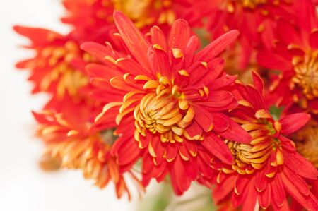 has been: red autumn flower, the chrysanthemum ,the effect has been applied