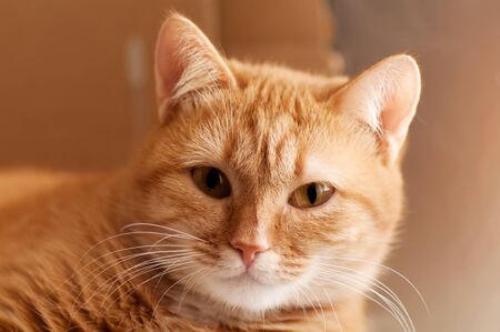 ginger cat: portrait ginger cat closeup Stock Photo