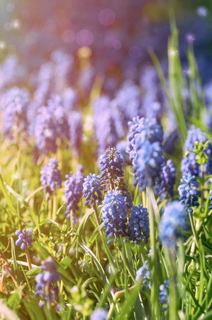 has been: flowers Muscari in nature, the effect has been applied