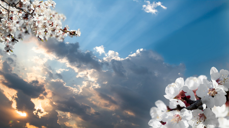 haiku: blossoming branch of a cherry flower on background of sunset Stock Photo