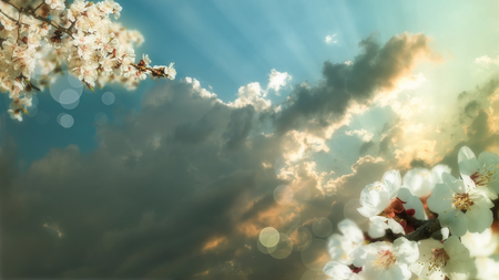haiku: blossoming branch of a cherry flower on background of sunset , apply the effect