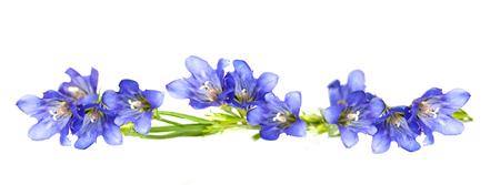 """blauwe bloem """"zeeleeuw"""" geïsoleerd op een witte achtergrond Stockfoto"""