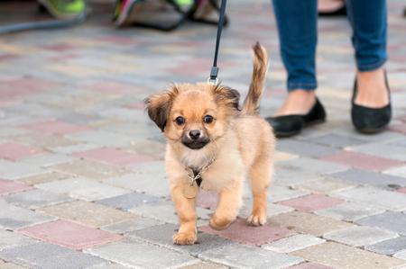 kleine hond in leiband met de gastvrouw op een wandeling Stockfoto
