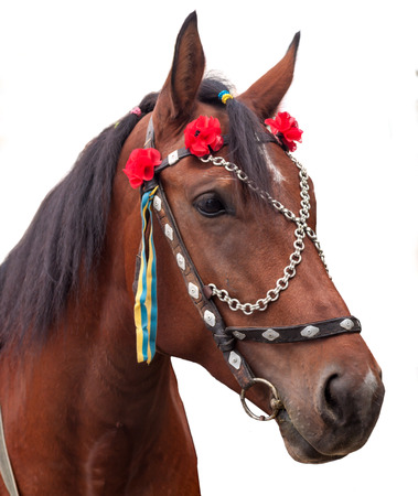 bay horse with decorative bridle portrait, close-up. isolated