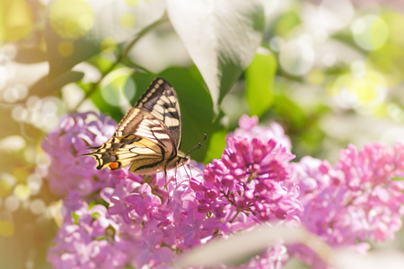 butterfly on a branch of lilac in the spring in the garden Archivio Fotografico - 104721693