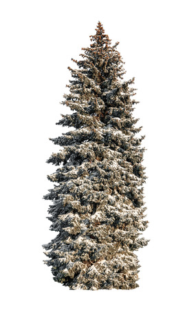 blue spruce in the snow isolated on white background Stock Photo