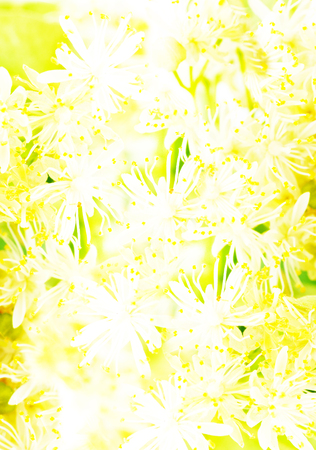 abstract background linden flower, filter applied