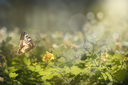 a butterfly flies in the forest above the flowers of celandine, in the rays of the setting sun
