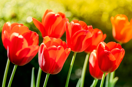 Beautiful red tulips. Backlighting and bright color. Buds close-up