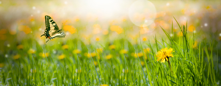 field of dandelions yellow. Panorama of the spring flower. Butterfly flies. Spring mood.Free space for text.