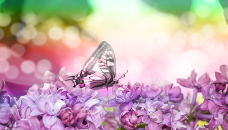 Spring photography. Lilac twig close-up. Butterfly on a lilac flower. Фото со стока