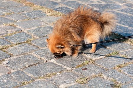 small dog on a leash, eating unhealthy food on the street Фото со стока
