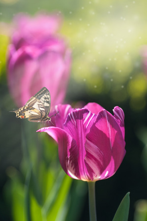 spring morning, butterfly on a tulip, purple tulip in backlit, free space for your text