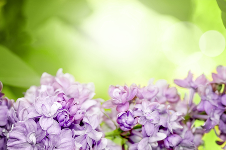 Lilac branch in spring in the park, free space for your text Фото со стока