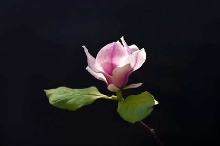 magnolia tree flower on black background Фото со стока