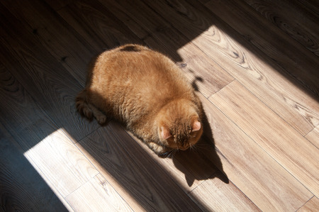 red cat lying and basking in the sun, a rare red color of the breed Scottish straight, top view