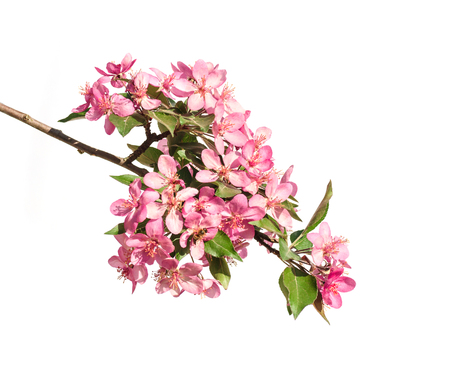 red flowers of apple tree isolated on white background Фото со стока
