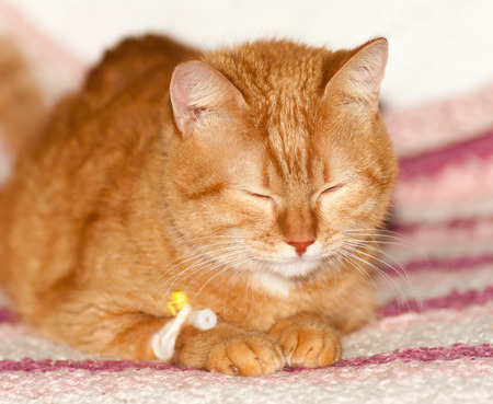red cat lies with a catheter in its paw, a rare red color of the breed Scottish straight