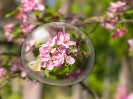 close-up of an apple tree blossom, a butterfly on a flower, a red flower