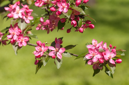 Apple tree blossom closeup, red flower, branch with flowers on grass background