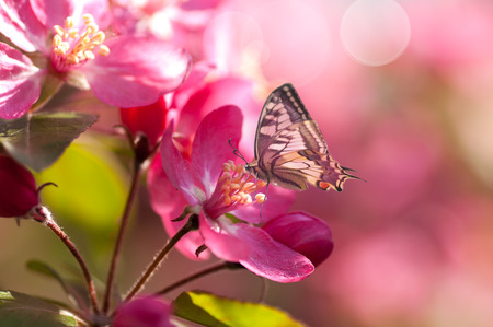 close-up flowering apple tree, butterfly on flower, red flower, bright sunlight