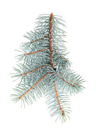 branch of blue spruce isolated on white background 写真素材