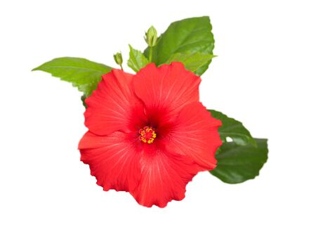 hibiscus red flower isolated