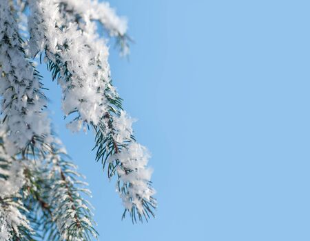 snow on a branch of spruce in nature Imagens - 128907039