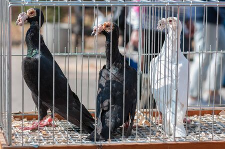pigeon of English Carrier breed in a cage for a bird show in Ukraine
