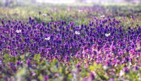 lilac flowers in the spring meadow, butterflies fly over flowers, spring background