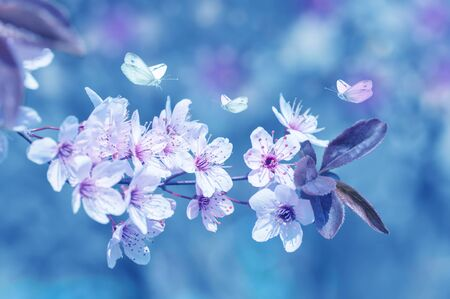 butterflies fly around cherry blossoms, spring background, color applied