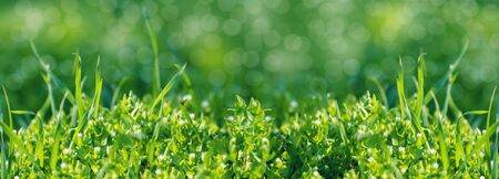 fresh green grass background, close-up, spring meadow Stock Photo