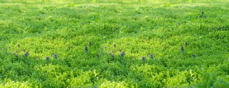meadow in spring, young fresh vegetation, lilac flowers among green grass