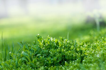 fresh green grass background, young grass bush close-up, spring meadow
