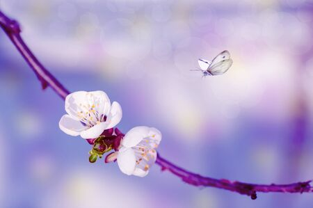 two cherry flowers on a branch, close-up, spring background with butterflies Stock Photo