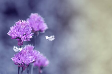 fresh lilac flowers, butterflies fly over flowers, delicate spring background