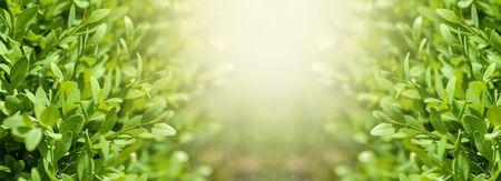 natural boxwood bushes, sunlight among the bushes, spring background panorama Stock Photo