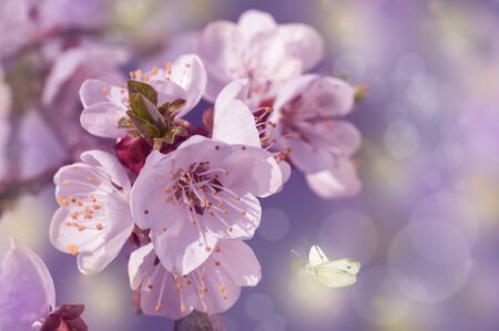 bright cherry flowers in spring in the park, close-up, spring background with butterflies Stock Photo