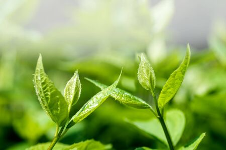 two young green fresh shoots reach for each other, spring background Stock Photo