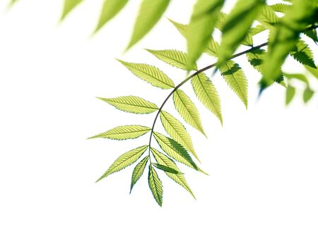 fresh young branch with green leaves isolated on white background