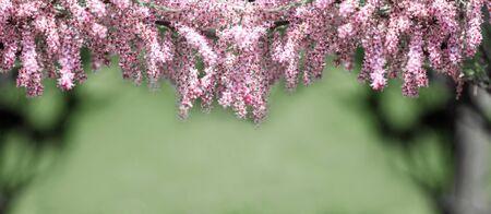 panorama natural blooming pink branch, spring background