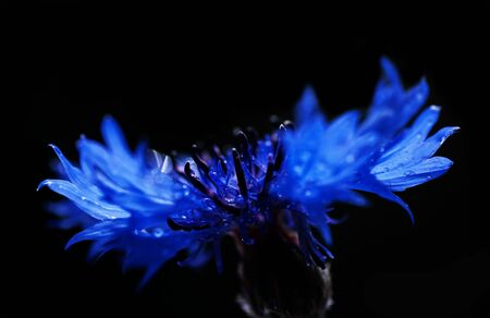 black cornflower background with water drops, close-up