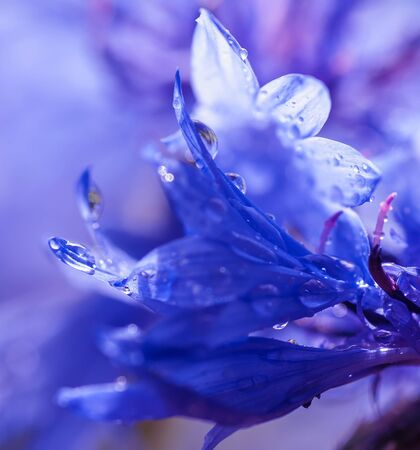 a drop of water drains from a petal cornflower close-up